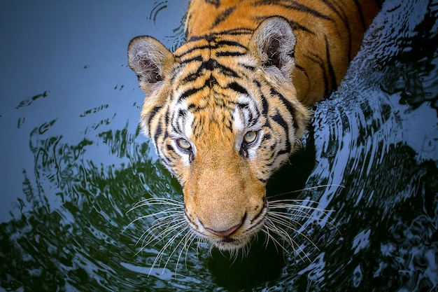 Closeup tiger face in the water.