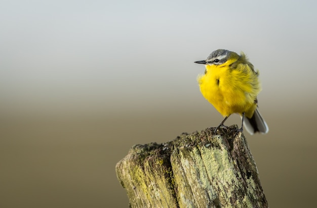 Closeup of a tiny grey wagtail perched on a wooden surface in a field with a blurry background