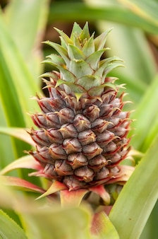 Closeup of a tiny pineapple in the field surrounded by green leaves iriomote island