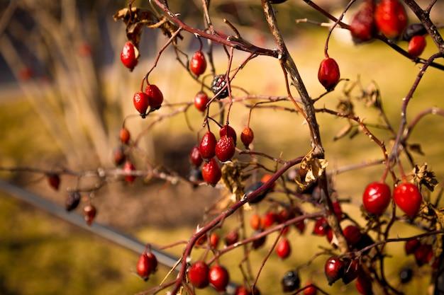 부시 대통령에 성장하는 매자 나무 열매의 근접 촬영 톤 사진