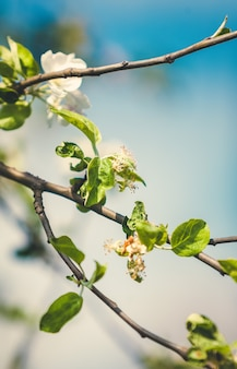 Closeup toned photo of white apple flowers on tree