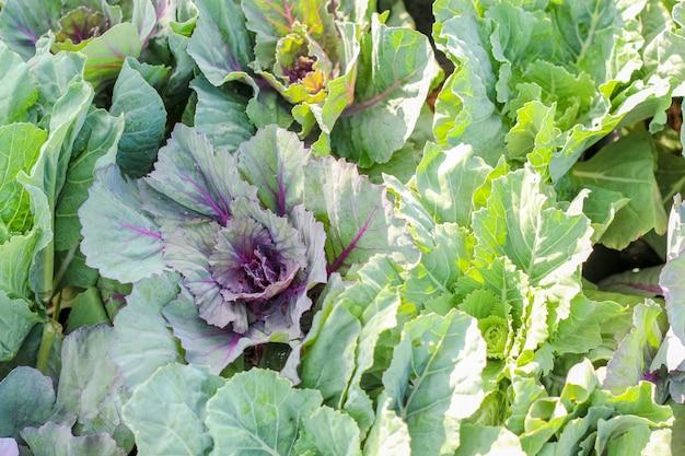 Closeup top view lettuce over the soil dirt
