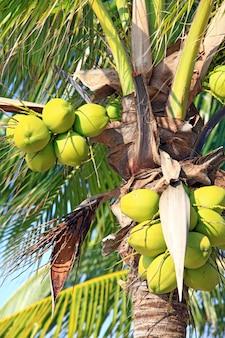 Closeup of tropical coconut