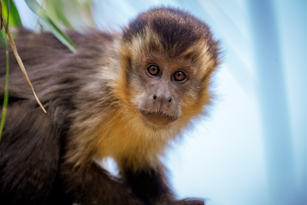 Closeup of tufted capuchin monkey