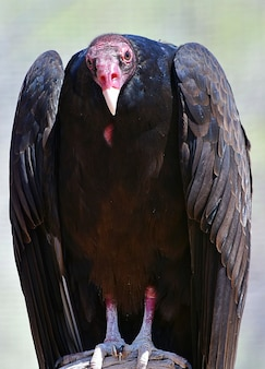 Closeup of a turkey vulture with a pink head