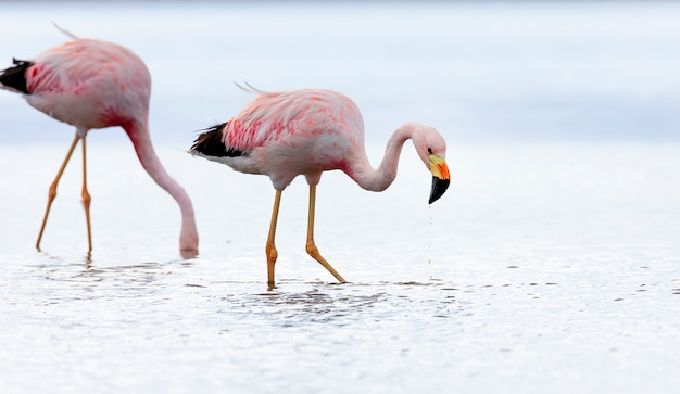 Closeup of two andean flamingos in salt lake chaxa near san pedro de atacama, chile, south america