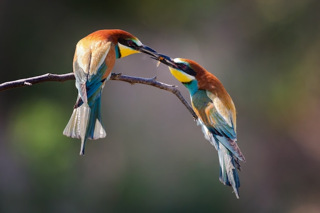 Closeup of two bee-eaters eating a bee under the sunlight with a blurry background