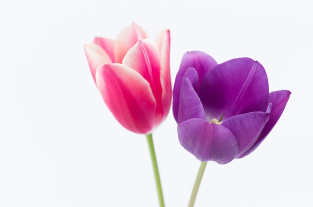 Closeup of two colorful tulip flowers isolated on white background with space for your text