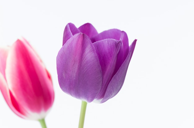 Closeup of two colorful tulip flowers isolated on white background