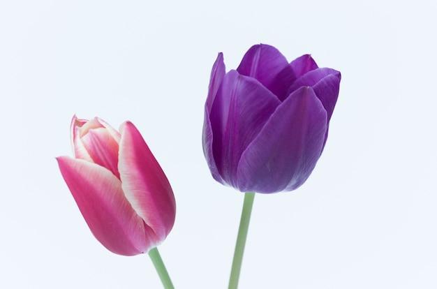 Primo piano di due coloratissimi fiori di tulipano isolati su sfondo bianco