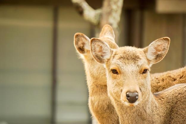 Closeup two doe young deer in nara park area, nara prefecture, japan.
