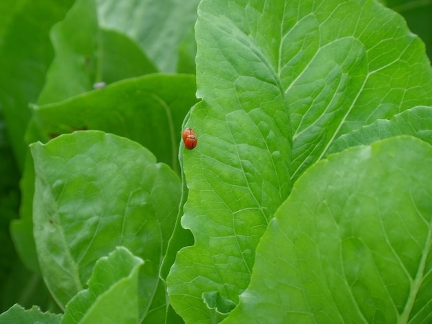 Closeup of two red ladybugs making love on the vibrant green vegetable leaf
