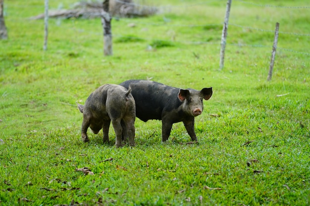 Closeup of two wild pigs walking on a grassy field with a blurred background in dominican republic