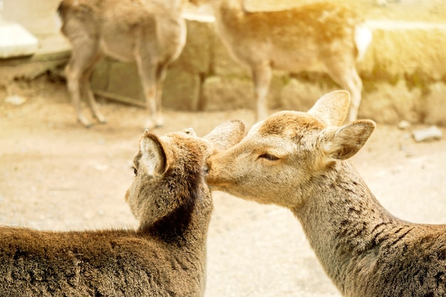 Closeup two young deer in nara park area show the love with sun flare