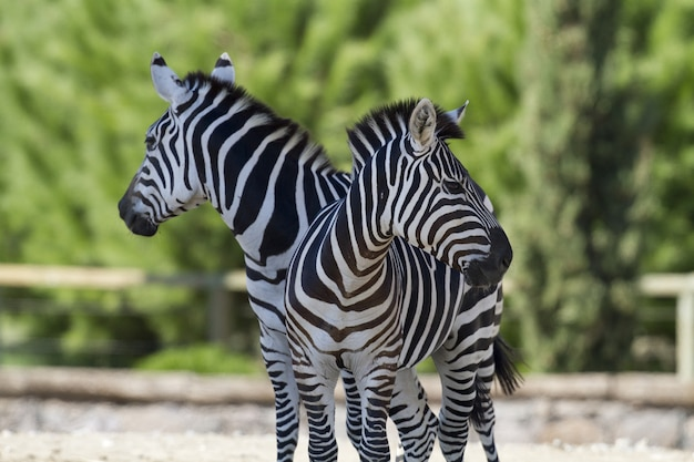Closeup of two zebras standing near each other