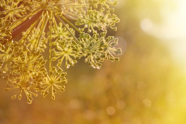 Closeup of an umbel of garden angelica angelica flower