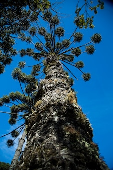 Closeup of upper part of araucaria angustifolia ( brazilian pine) with sky background, campos do jordao, brazil.