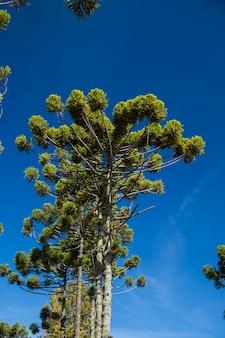 Closeup of upper part of araucaria angustifolia ( brazilian pine) with sky background, campos do jordao, brazil.
