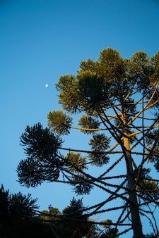 Closeup of upper part of araucaria angustifolia ( brazilian pine) with sky and clouds background, campos do jordao, brazil.