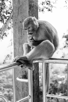Closeup vertical grayscale photo of rhesus macaque primate monkey sitting on a metal railing