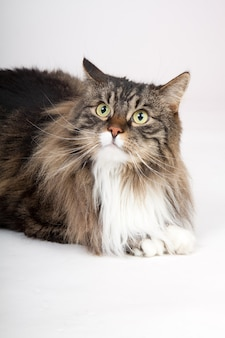 Closeup vertical portrait of a cute furry siberian cat isolated on a white wall