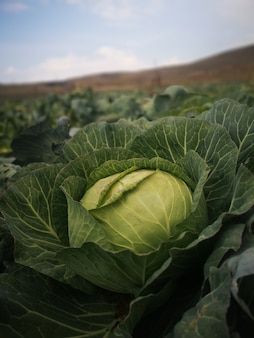 Closeup vertical shot of a cabbage plant in the field
