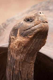 Closeup vertical shot of a galapagos totoise