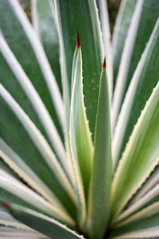 Closeup vertical shot of green agave leaves