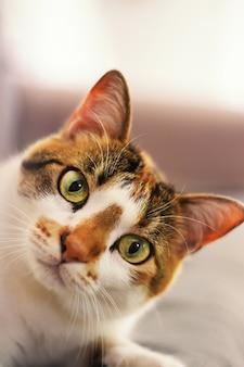 귀여운 유럽 쇼트 헤어 고양이의 근접 촬영 세로 샷