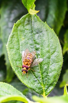 Closeup vertical shot of pairing hoverflies on a green leaf