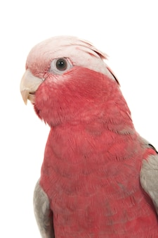 Closeup vertical shot of a red-breasted cockatoo isolated on white surface
