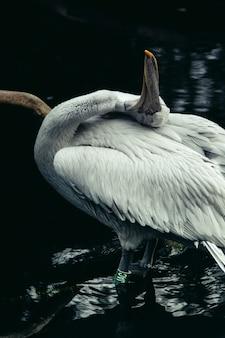 Colpo verticale del primo piano di bello pellicano bianco in un lago