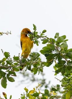 Primo piano verticale di un uccello esotico giallo che mangia appollaiato su un ramo di un albero