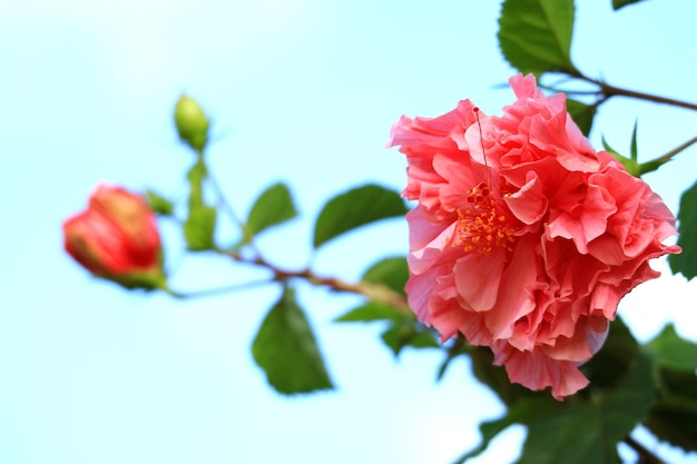 Closeup of vibrant pink hibiscus mutabilis or cotton flower against blue sky