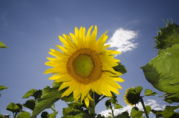 Closeup of a vibrant sunflower blooming at a field on a blue sky
