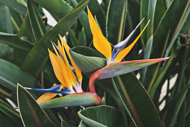 Closeup view of blooming flower of strelitzia among leaves