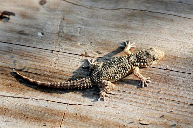 Closeup view of the common european gecko.