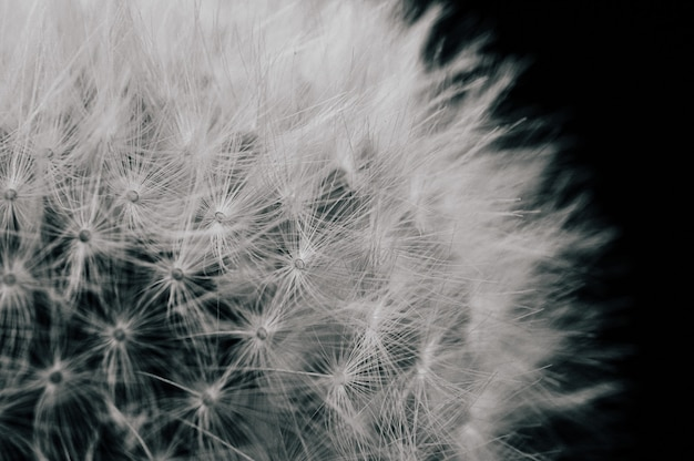 Closeup view of a dandelion isolated