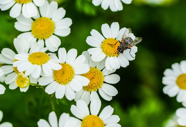 Closeup view of a fly on a beautiful tiny daisy flowers
