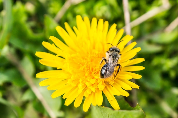 Closeup view of a fly on a beautiful yellow dandelion flower on a blurred background