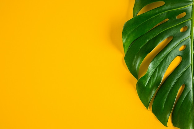 Closeup view of green natural tropical monstera leaf on bright yellow background with room for text