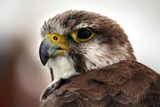 Closeup view of the head of a saker falcon.