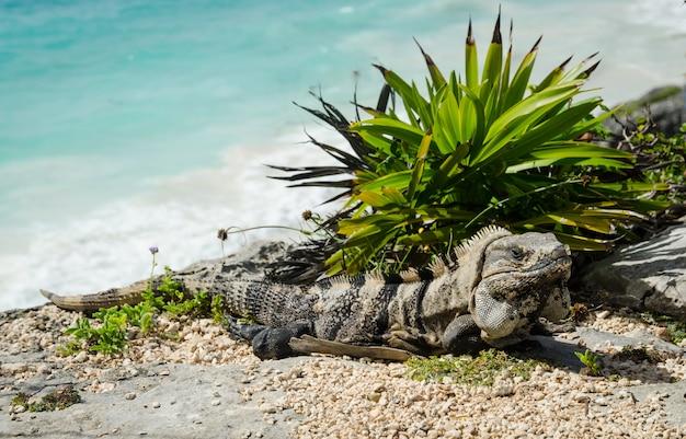 Closeup view of an iguana in tulum beach, mexico