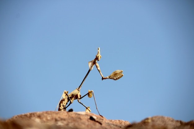 A closeup view of the indian rose mantis gongylus gongylodes insect