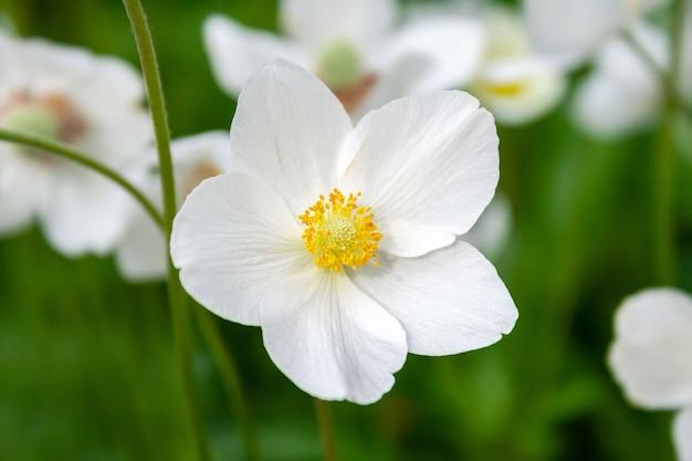 같은 꽃의 흐린 배경에 노란색 센터와 말미잘 hupehensis의 아름다운 흰 꽃의 근접 촬영보기