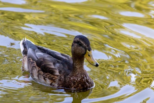 Крупным планом вид утки, грациозно плавающей в пруду