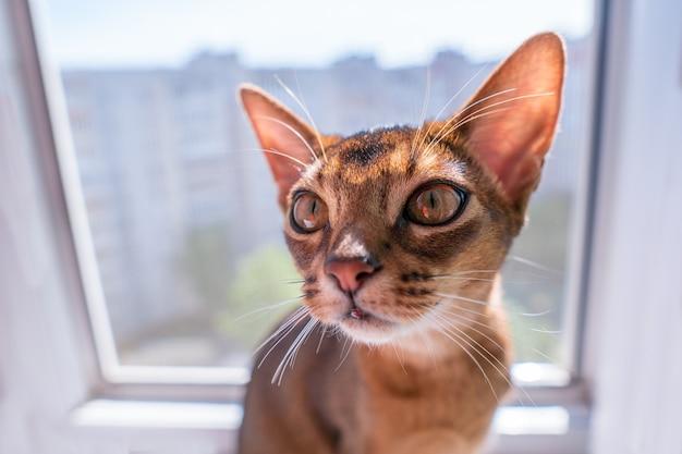 Крупным планом вид абиссинской кошки или котенка, сидящего на окне.