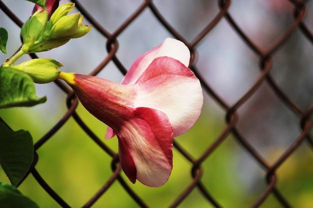 アラマンダチェリージュビリーの花のクローズアップビュー
