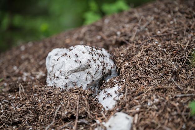 주위에 크롤 링 하는 많은 개미와 개미 둥지의 근접 촬영 보기.