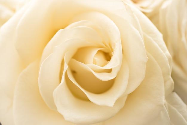 美しい白いバラのクローズアップビュー